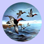 Lynn Kaatz - Classic waterfowl: Ducks - The Canvasbacks Breaking Away
