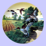 Lynn Kaatz - Classic waterfowl: Ducks - Pintails In Indian Summer